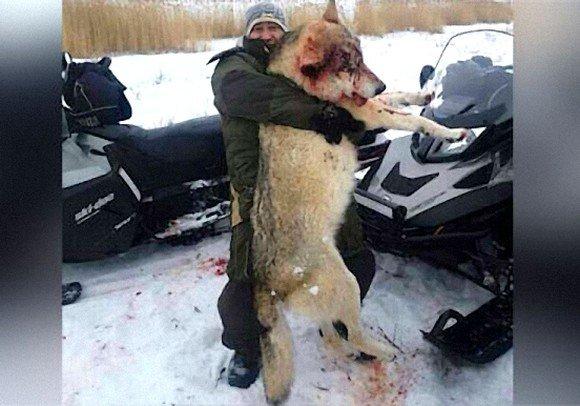 Большой волк в ростовской области фото