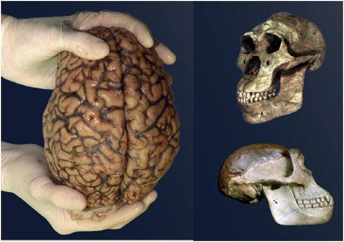 Корреляция между размером рук и мозга