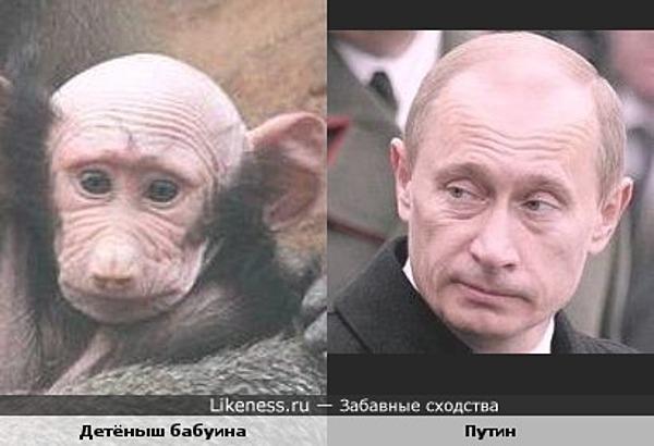 Детёныш бабуина похож на Владимира Путина :: Забавные сходства
