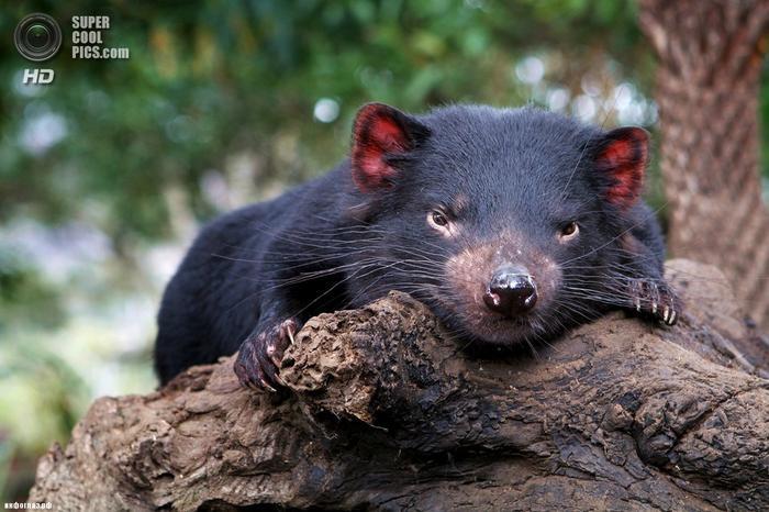 Тасманийский дьявол. (blackpaw)