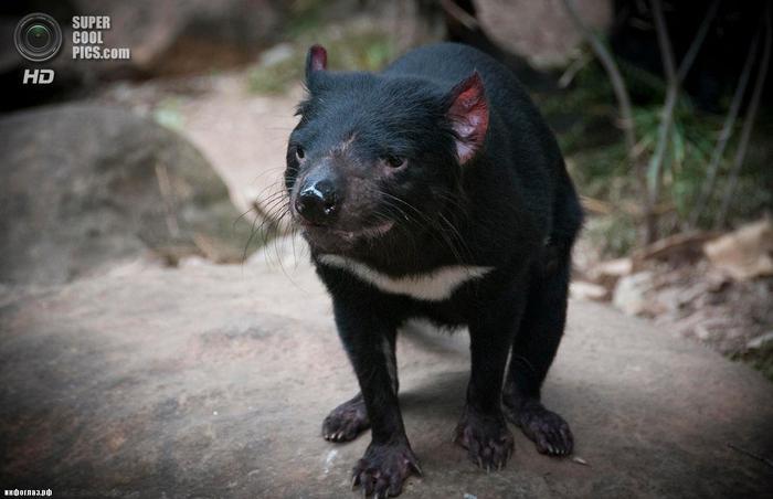 Тасманийский дьявол. (juan pablo gonzález barragán)