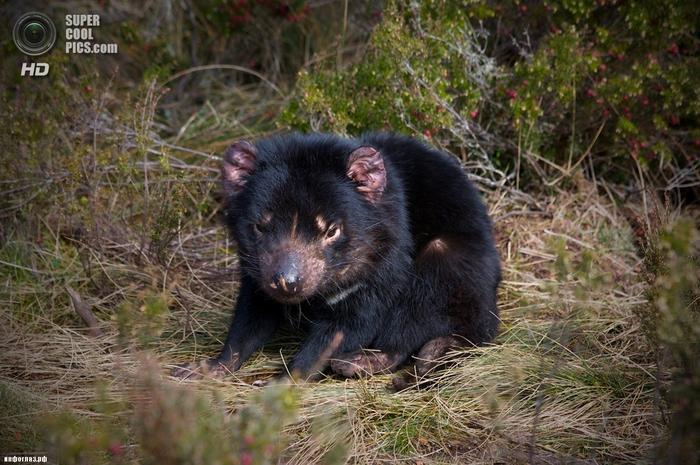 Тасманийский дьявол. (Dylan R)