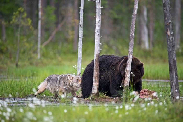 необычная дружба медведя и волка