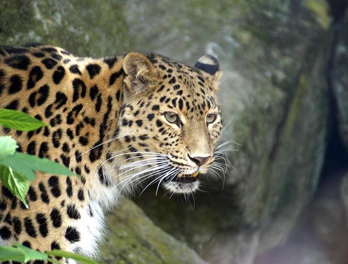 Дальневосточный леопард (амурский барс)