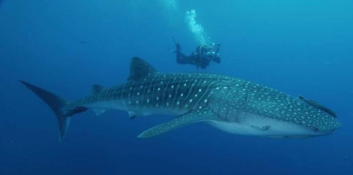 9. Китовая акула гигант, животные, планета