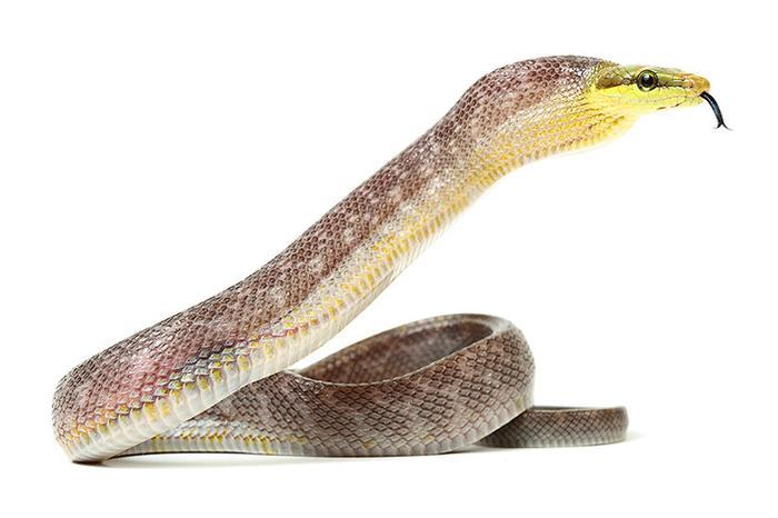 Зелёный полоз, неядовитая змея семейства ужеобразных