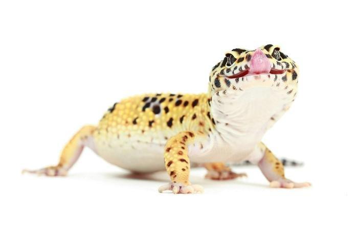 Пятнистый леопардовый геккон