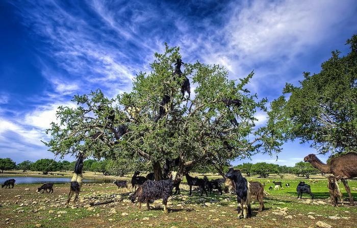 14104 Козы на деревьях в Марокко