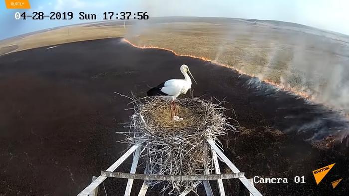 Видео: Пожар подходит все ближе, но аист стоит в гнезде, не в силах бросить птенцов