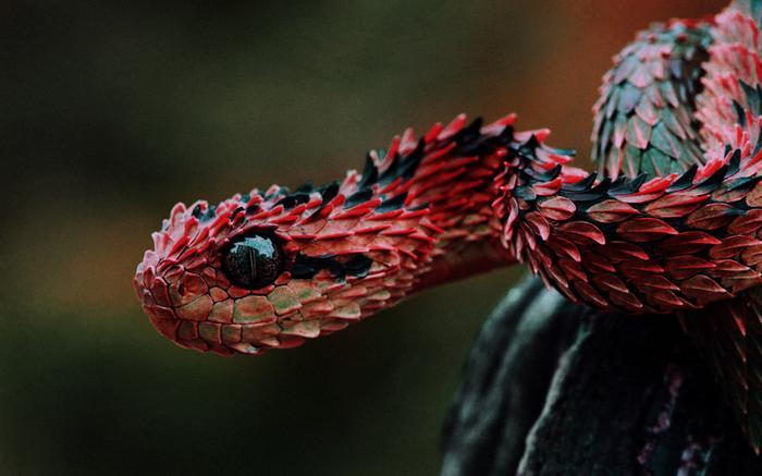 Колючая кустарниковая гадюка. Невероятно красивая, но ядовитая змея без фотошопа, природа, удивительные фото, человек