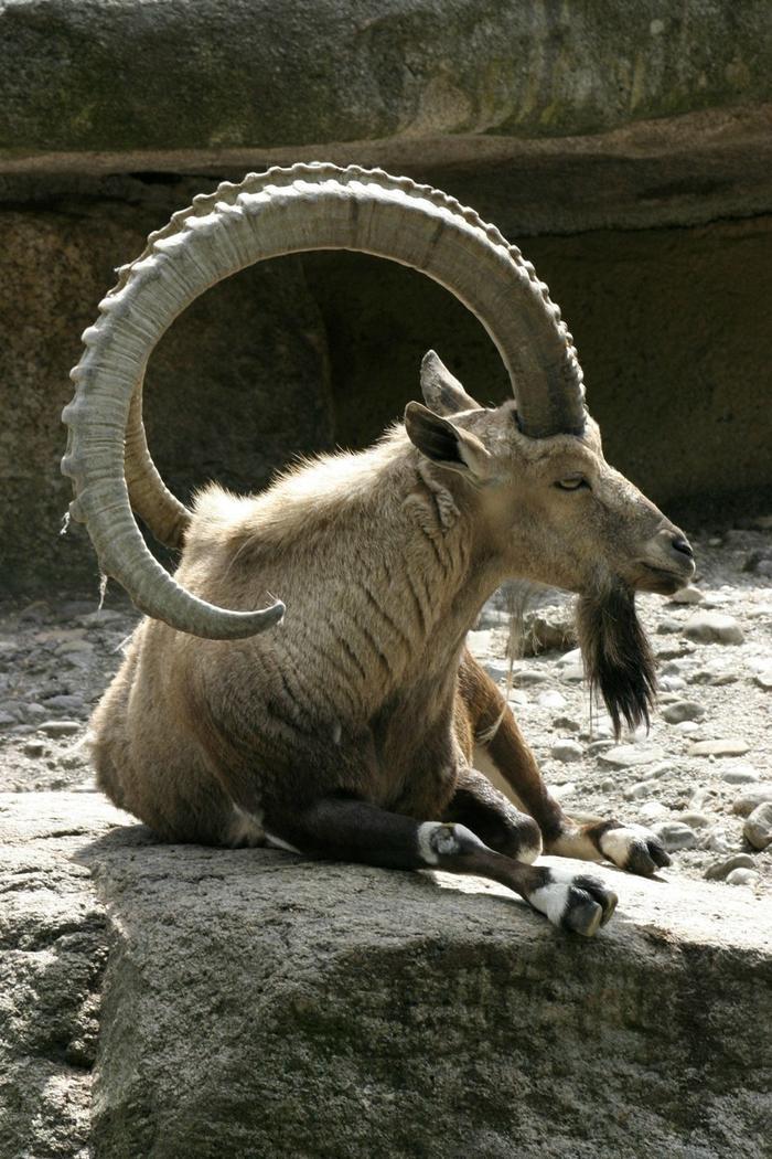Прообраз зодиакального козерога — Сибирский горный козёл без фотошопа, природа, удивительные фото, человек