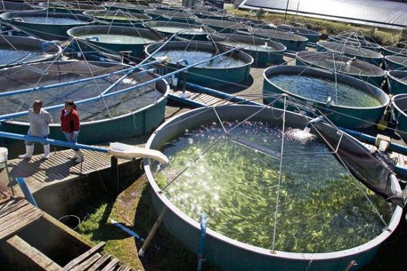 Токсиколог: Норвежский лосось — самая токсичная еда во всём мире картинки