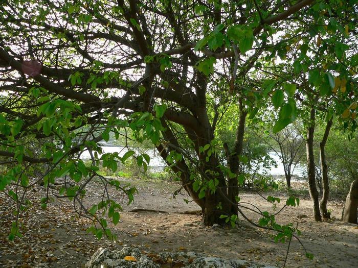На первый взгляд, дерево как дерево. Фото: из открытых Интернет-источников