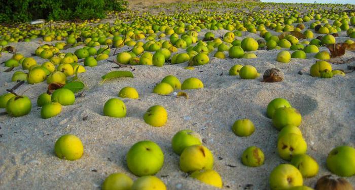 Ароматные яблоки. Фото: из открытых Интернет-источников