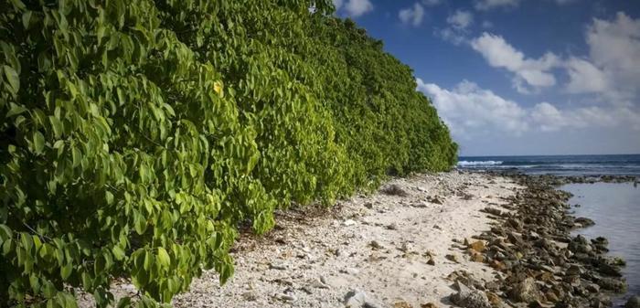 Заросли манцинеллы на побережье. Фото: из открытых Интернет-источников