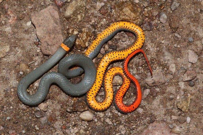 ошейниковая змея