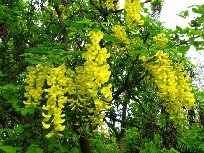Карагана (желтая акация) — описание, применение, лечебные ...