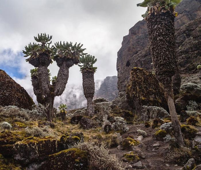 Лобелия на Килиманджаро