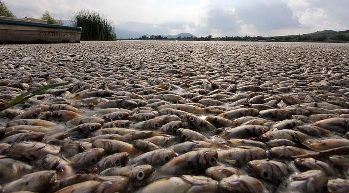 Море мертвой рыбы в Мексиканском заливе, Мексика