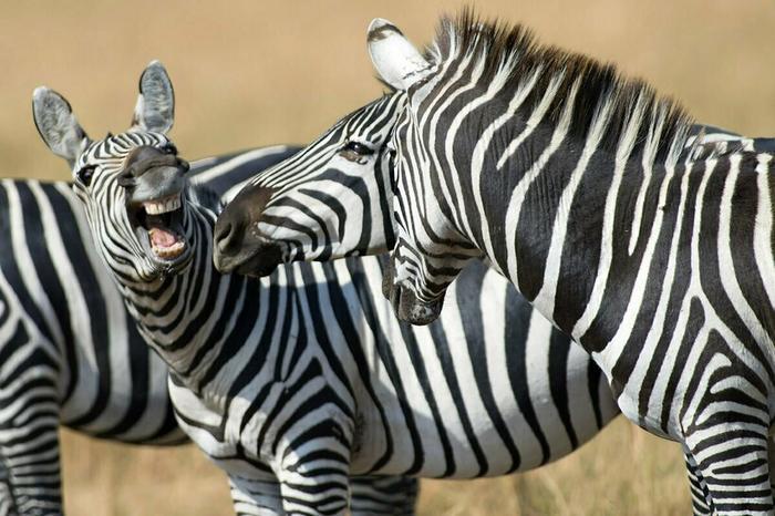 Для зебры их окрас — это не маскировка, а способ опознать своего сородича издалека