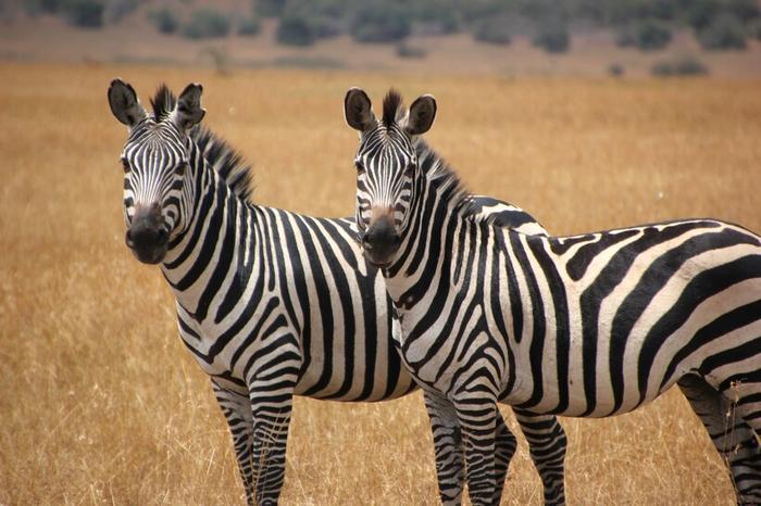 Поэтому все предположения о том, что зебры так скрываются в естественной среде, неправильны
