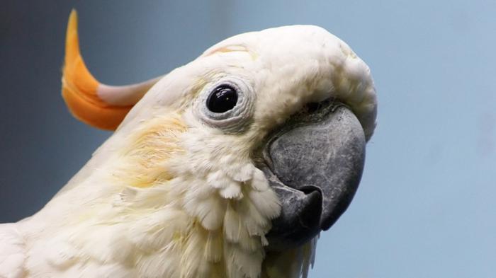 попугай, пернатые, птица, животное, фауна, домашнее животное, клетка, птица в клетке, питомец, перья, оперение, крылья, клюв, летать,