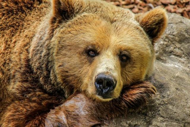 На Аляске спасли мужчину, который неделю отстреливался и отпинывался от назойливого медведя