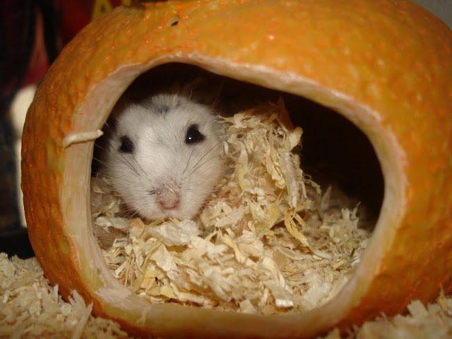 Хомяк в домике из апельсина