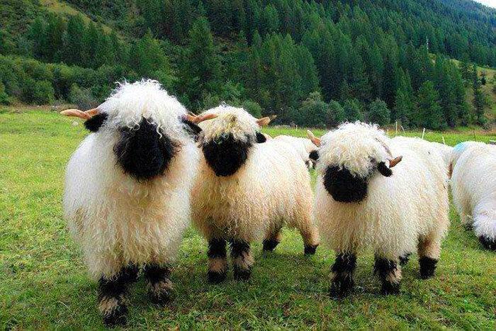 Черноносые овечки из Швейцарии. Черноносые овцы разделили Интернет на два лагеря: одни уверяют, что милее животных просто не существует, другие говорят, что эти овечки такие жуткие, что видимо их кто-то специально создал, насмотревшись мультфильмов. На самом деле это совершенно реальные овечки, родина которых находится в Швейцарии.