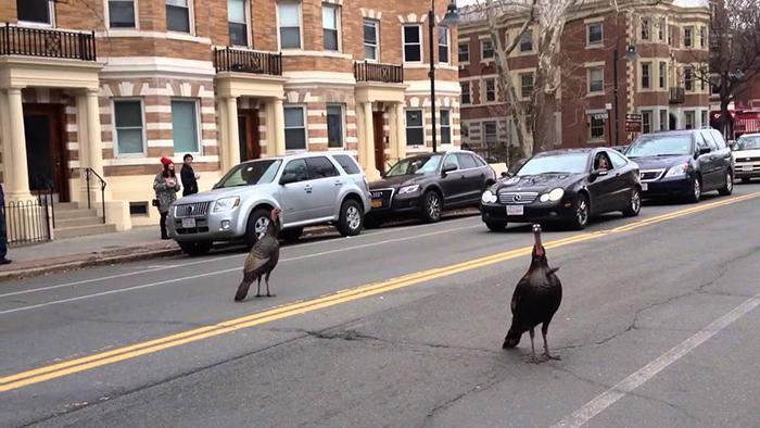 Агрессивные и наглые индейки в Бостоне