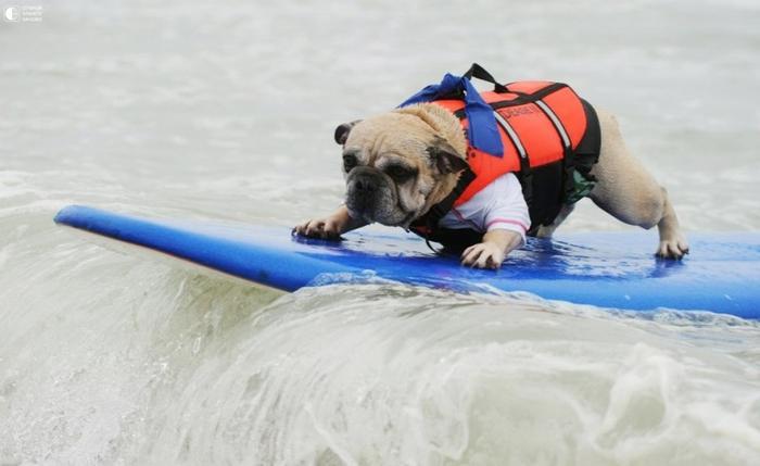 Собаки - серфингисты 6