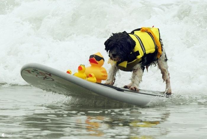 Собаки - серфингисты 7