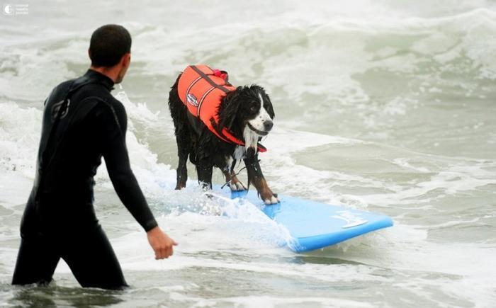 Собаки - серфингисты 8