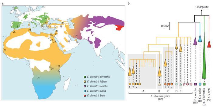 Рис. 2. Карта распространения подвидов дикого кота Felis silvestris и генеалогическое дерево митохондриальных линий