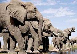 На остров в Индии напало стадо диких слонов