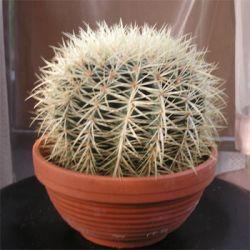 Кактус - универсальное лекарственное растение