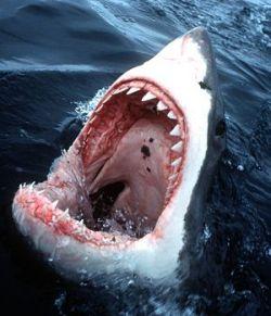 Американские рыбаки поймали акулу весом 383 кг (фото)