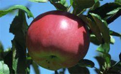 Молодильные яблоки: малоизвестные факты об известном фрукте