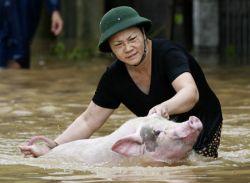 В Китае учат плавать свиней