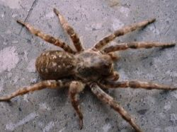 Туристка обнаружила в сумке огромного тарантула