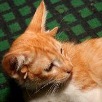 Котенок с шестью ушами