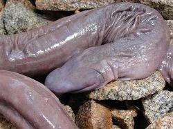 Полововой член кита
