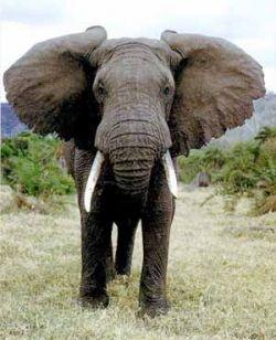 В Великобритании слониха рисует картины