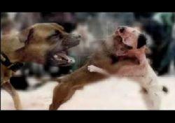 Шестерых жителей Великобритании посадили в тюрьму за организацию собачьих боев в Бирмингеме