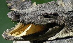 В Таиланде ловят 36 сбежавших крокодилов