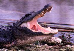 Пьяного туриста искусал крокодил