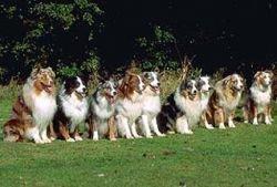 За цвет шерсти собаки отвечают три гена