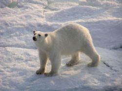 Международную научную дрейфующую станцию в Арктике одолевают медведи