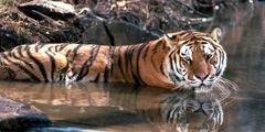 В Китай вернулись редчайшие южнокитайские тигры