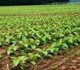 Импортом табака в Белоруссию займется госкомпания